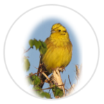 nimble_asset_Yellowhammer