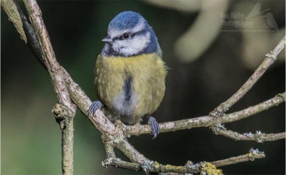 Blue Tit- © B.Kirby